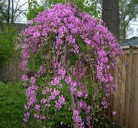 american redbud tree, lavender twist weeping redbud tree flower