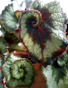 angel wing begonia,begonia rex, begonia escargot