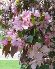 flowering crab apple tree, apple blossoms