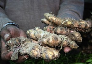 growing ginger, ginger root