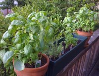 growing herbs from seeds, basil and herb window box