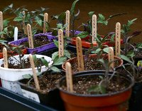 growing herbs from seeds, transplanted seedlings