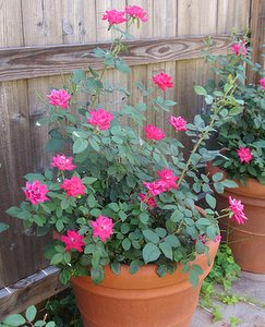 growing roses in container, pink rose