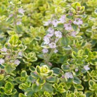 growing thyme, variegated lemon thyme with flower