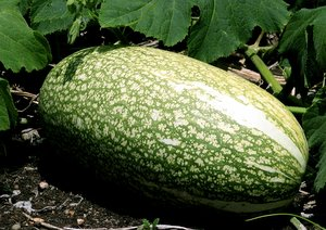 growing watermelons, watermelon plants