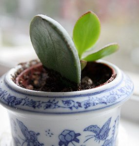 money tree plant care - leaf cutting jade plant