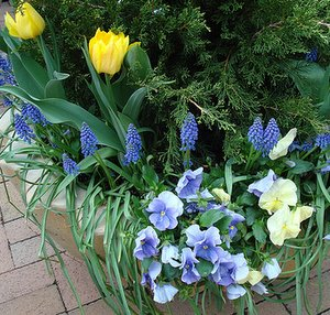 pansy flowers, pansies in container with bulbs