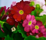 poisonous house plants, primula obconica