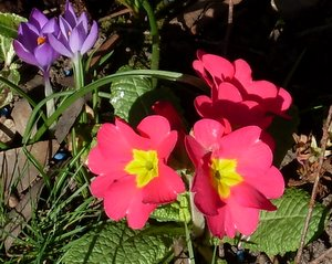 primrose flower, pink primrose and crocus flower