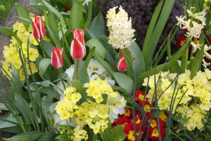 primrose flowers, primroses, tulips and hyacinths