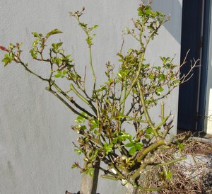 pruning rose bushes, pruning roses