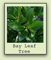 bay-leaf-tree