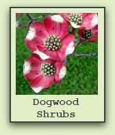dogwood shrubs