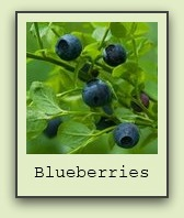 growing-blueberries
