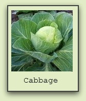 growing-cabbage