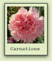 growing carnations