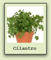 growing cilantro