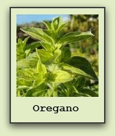 growing-oregano
