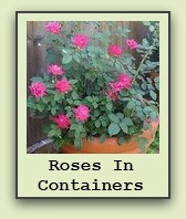 growing-roses-in-containers
