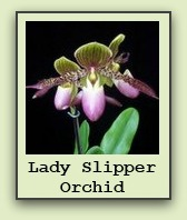 lady-slipper-orchids