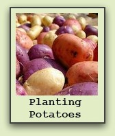 planting potatoes