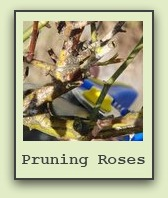 pruning-rose-bushes