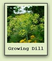 growing-dill