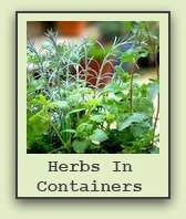 growing-herbs-in-containers