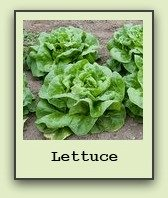 growing-lettuce