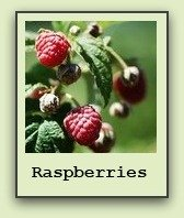 growing-raspberries