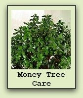 money-tree-plant-care