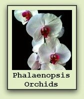 phalaenopsis-orchid-care