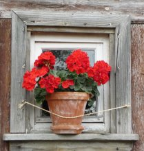 red geranium on window