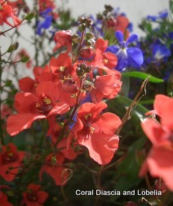 Coral Diascia and Lobelia