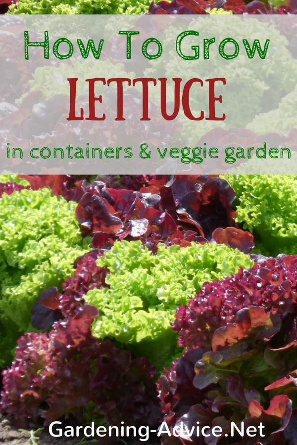 Growing Lettuce Is Easy!