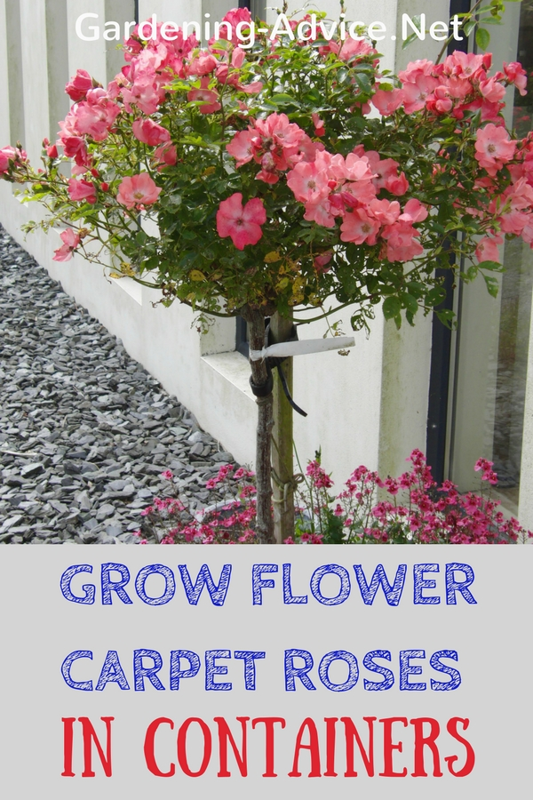 Grow Flower Carpet Roses in Containers