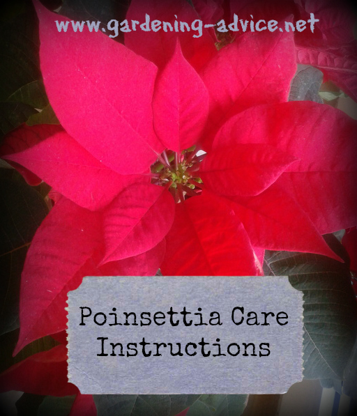 poinsettia care instructions