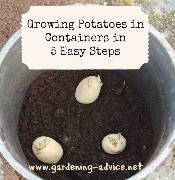 planting potatoes in containers in 5 steps