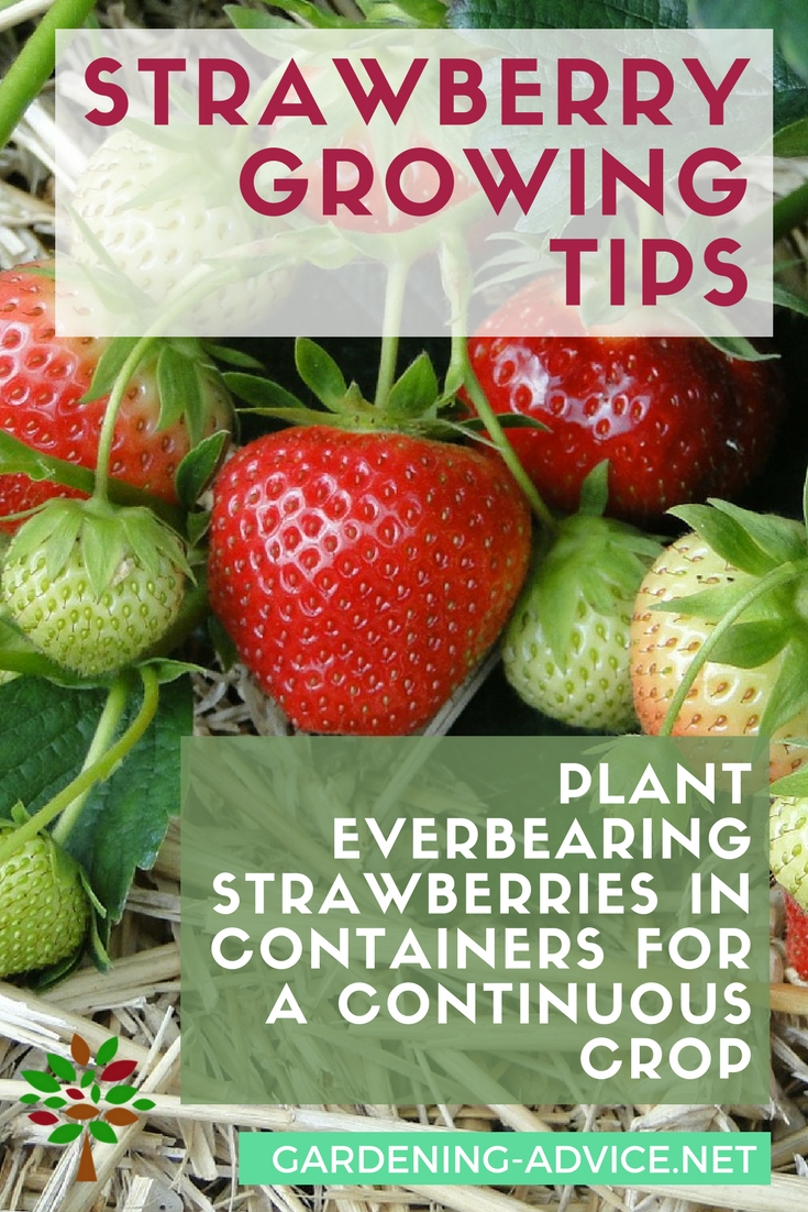 Strawberry Growing Tips #organicgardening #gardeningtips #gardening #homesteading #homesteadgarden #urbangarden