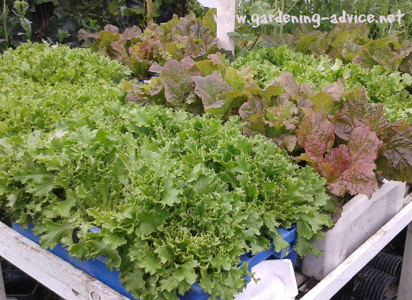 growing lettuce in fish boxes