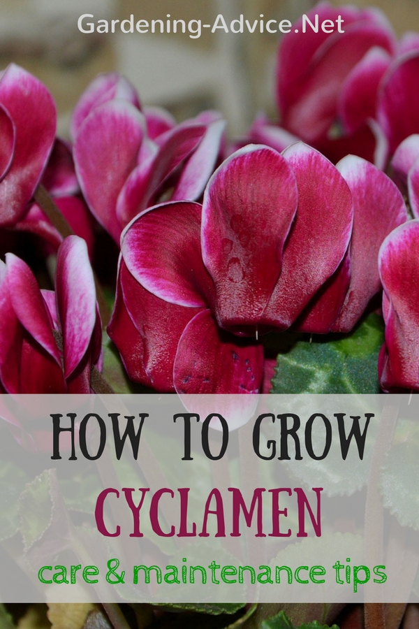 How To Grow Cyclamen