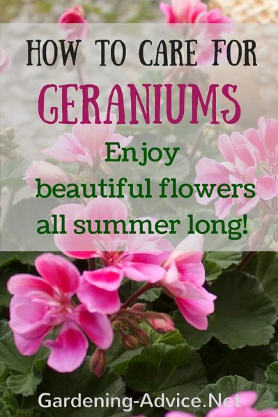 gardening advice for geranium care