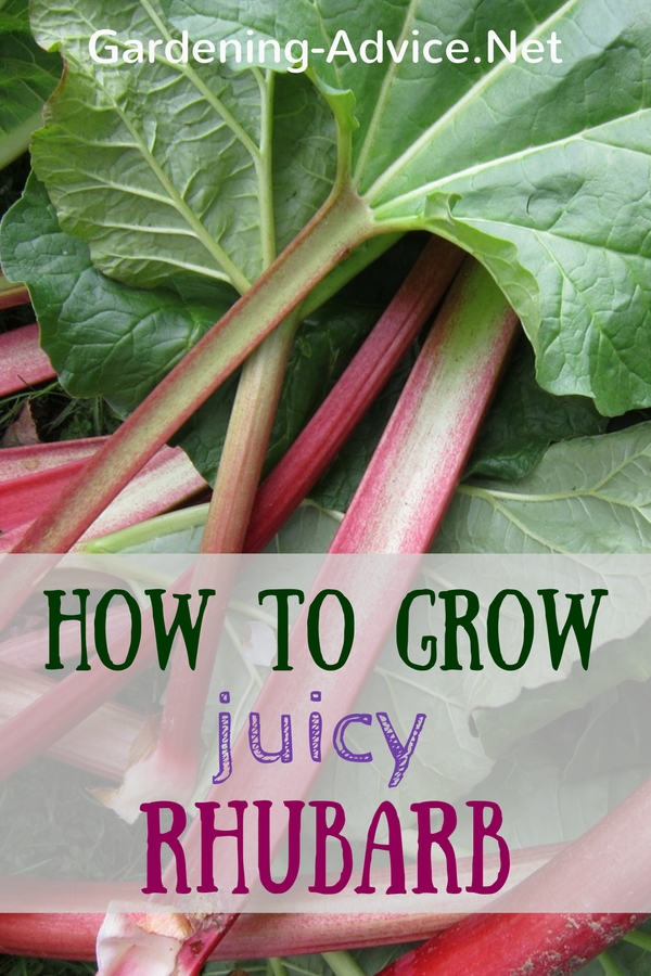 Hoe To Grow Rhubarb