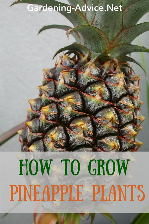 how to grow a pineapple plant as a houseplant. Black Bedroom Furniture Sets. Home Design Ideas