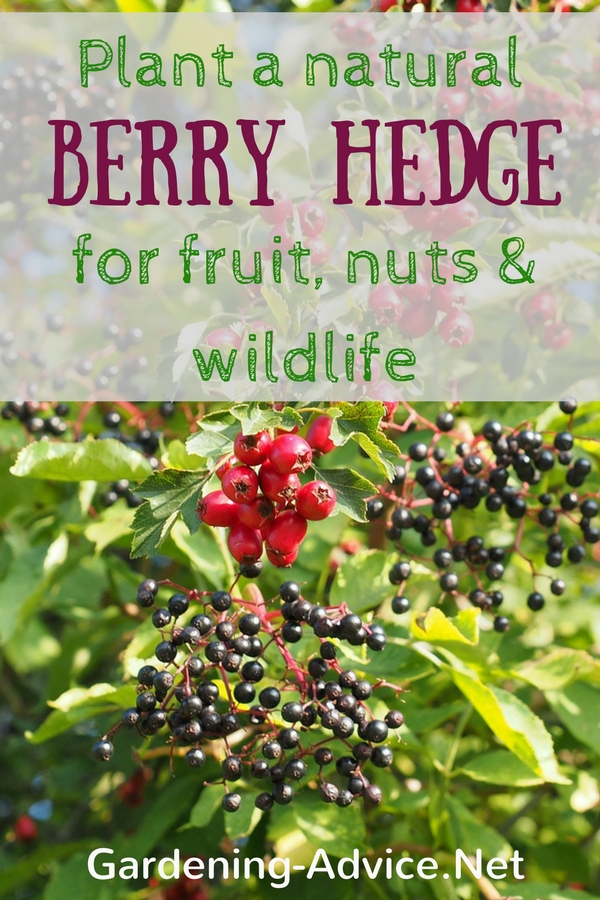 natural berry hedge