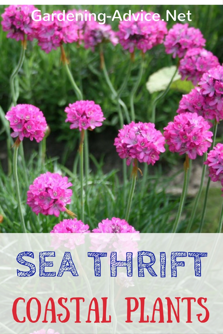 Count On Sea Thrift In Your Coastal Garden #gardeningtips #gardening #coastalgarden #flowergardening