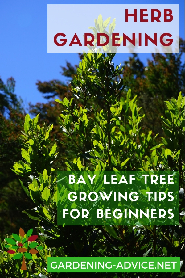 How To Grow Bay Leaf Trees #gardening #gardeningtips #permaculture  #homesteadgarden #organicgardening #homesteading #urbangardening #vegetablegardening  #herbs #herbgardening #herbgarden