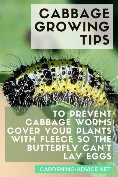 Cabbage Growing Tips #gardeningtips #gardening #organicgardening #homesteading #homesteadgarden #urbangardening #growyourownfood
