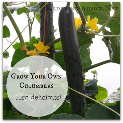 grow your own cucumbers