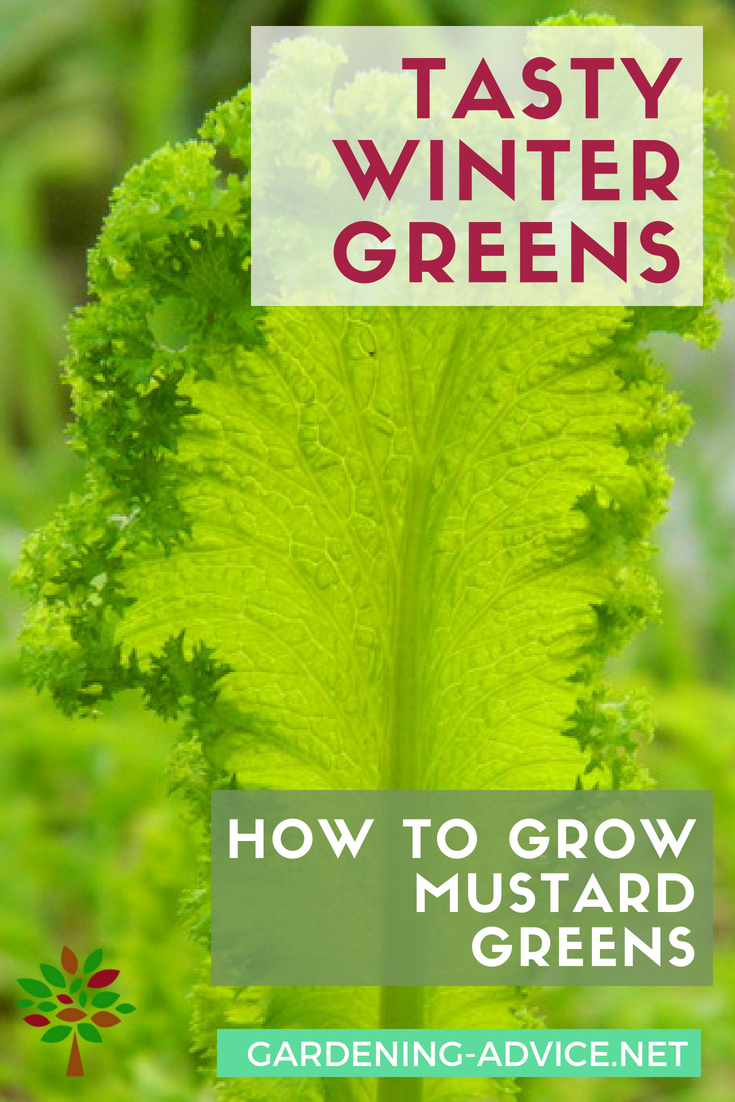 How to grow mustard greens #gardeningtips #gardening #organicgardening #homesteading #homesteadgarden #urbangardening #vegetablegardening